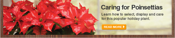 Caring for Poinsettias - READ MORE