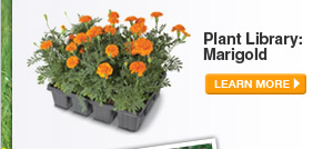 Plant Library: Marigold - LEARN MORE