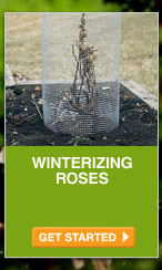 Winterizing Roses - GET STARTED