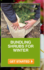 Bundling Shrubs for Winter - GET STARTED