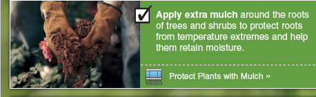 Apply extra mulch around the roots of trees and shrubs to protect roots from temperature extremes and help them retain moisture. - Video: Protect Plants with Mulch