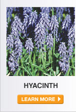 Plant Care Guide: Hyacinth - LEARN MORE
