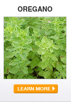 Oregano - LEARN MORE