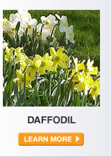 Plant Care Guide: Daffodil - LEARN MORE